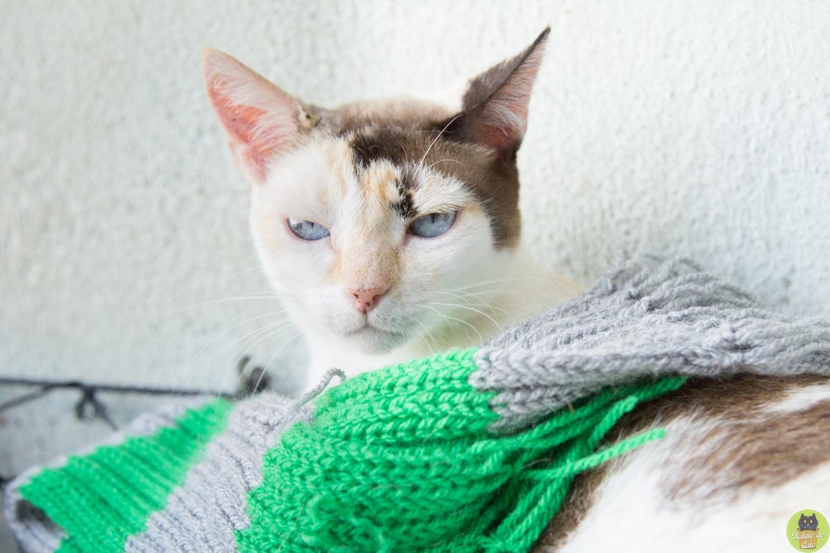 Gata tricolor com olhos azuis e um cachecol no pescoço olhando com cara de brava para a câmera.