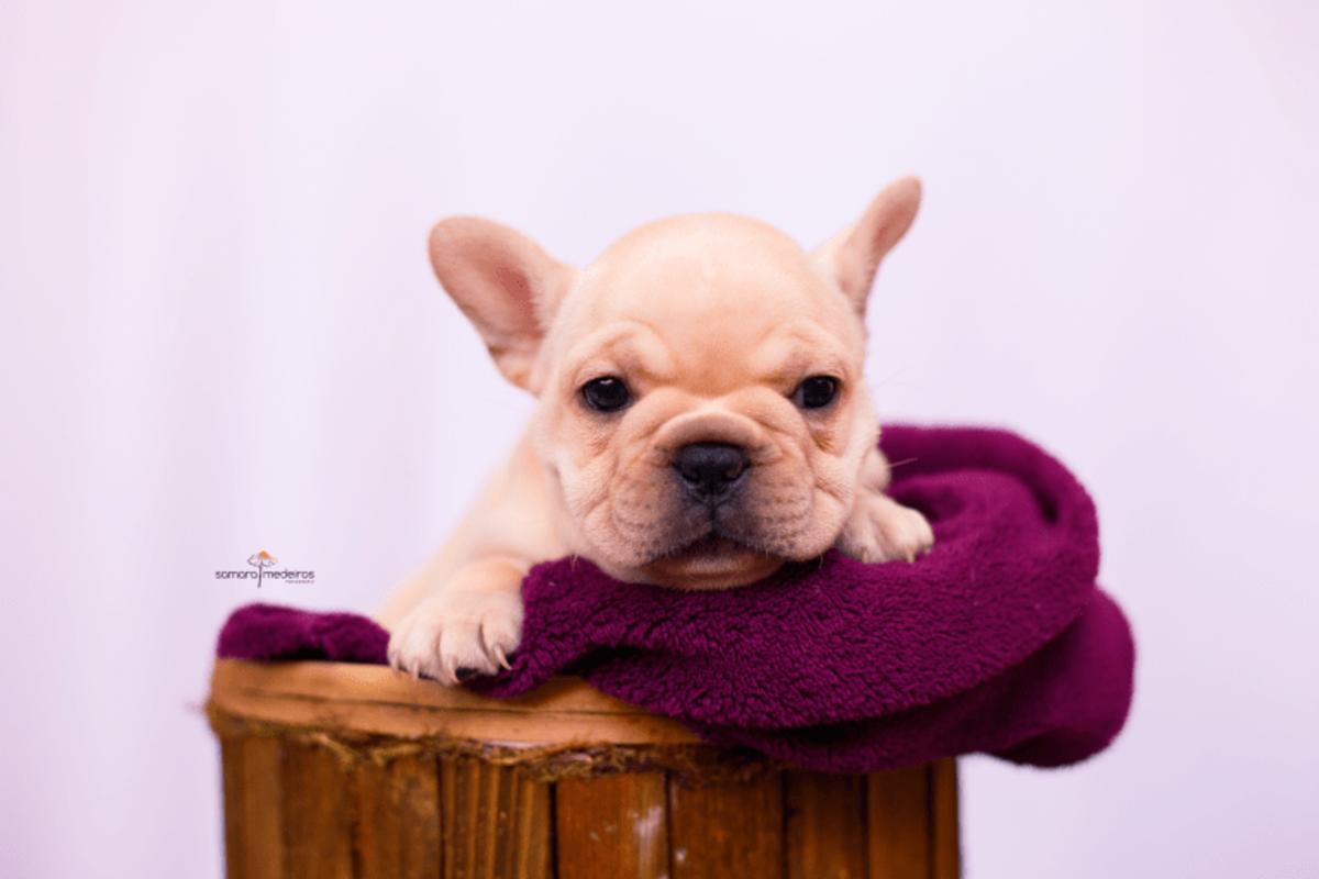 Filhote de bulldog francês deitada em um cesto de madeira coberto com uma manta vinho e com uma expressão de brava.