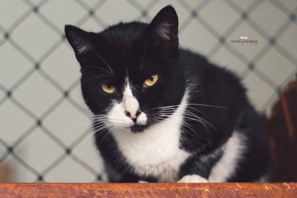 Gato preto com manchas brancas no rosto e barriga e olhos amarelos, com cara de bravo.