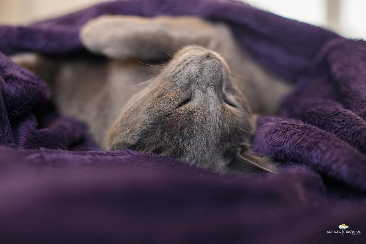Gato cinza dormindo, de barriga para cima em uma coberta roxa.