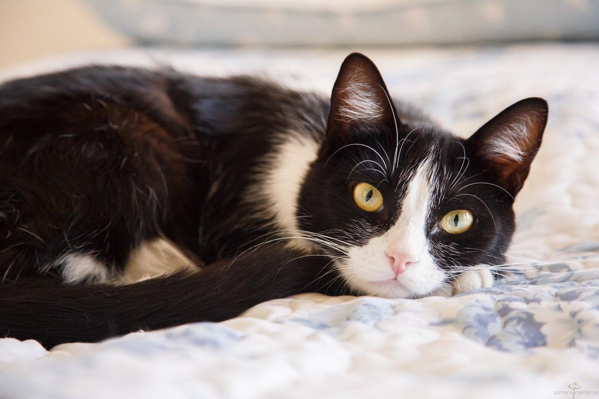 gata com pelagem frajola, preto e branco, deitada na cama com a cabeça apoiada na pata, olhando para a câmera