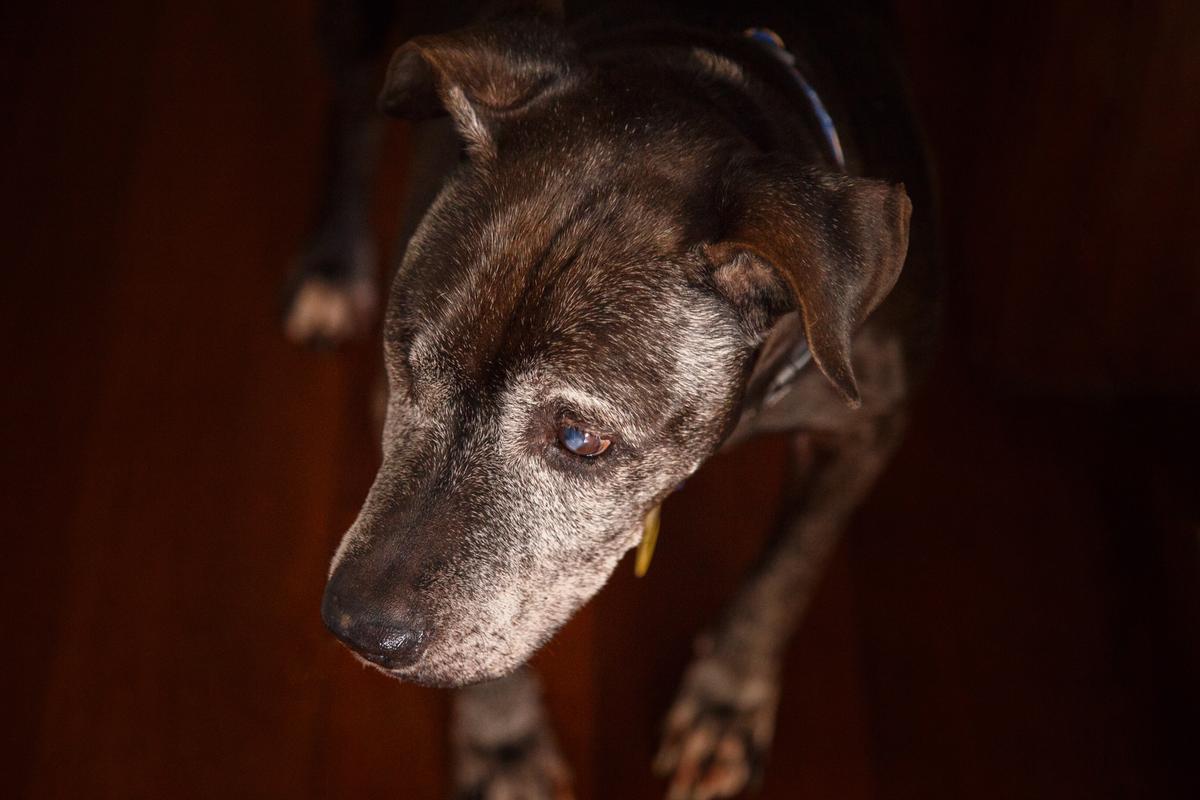 Close na cara de um pitbull idoso e cego de um olho deitado no chão de sua casa.