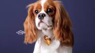 Ensaio Pet de Lord / Cavalier