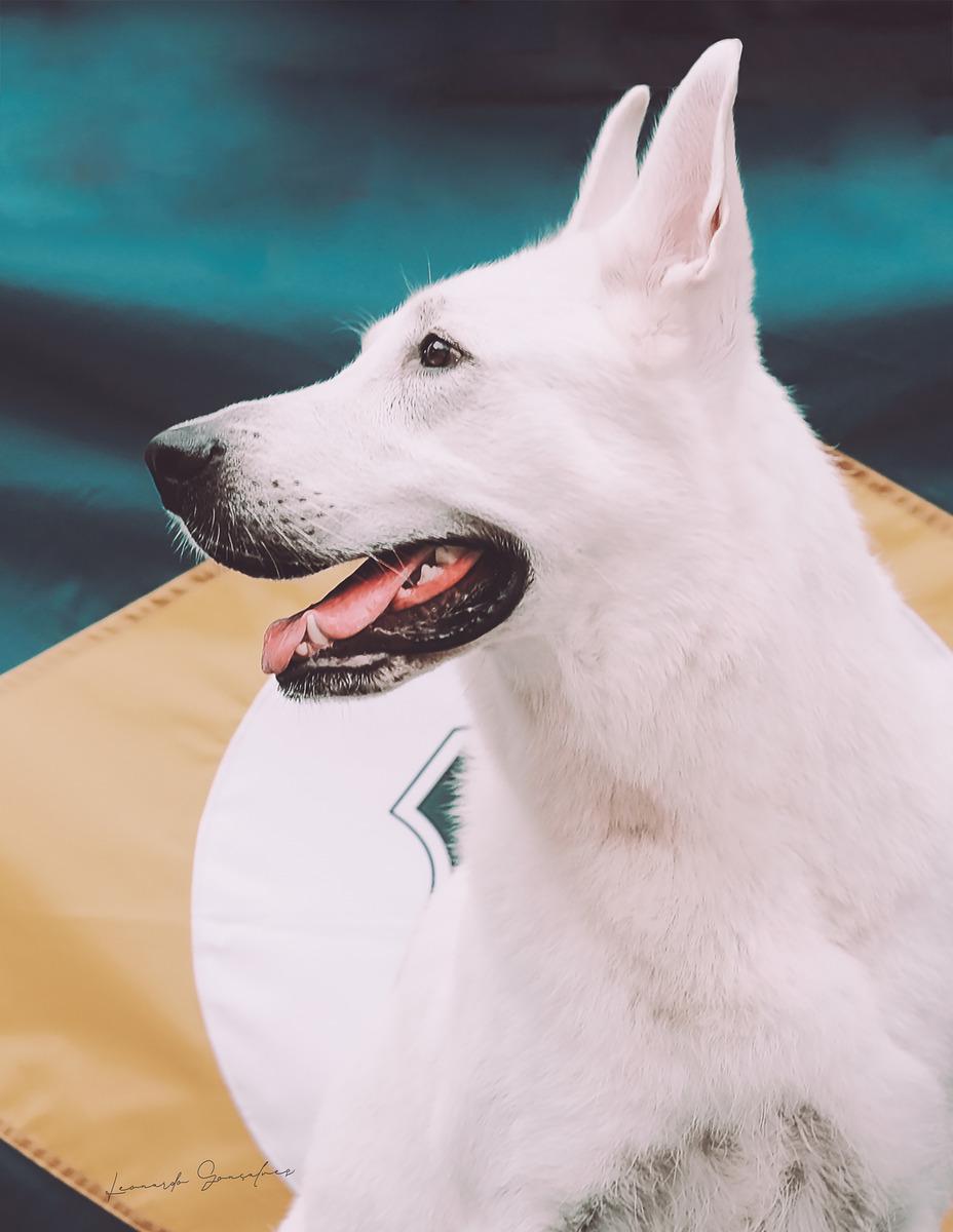 Sibéria, uma linda fêmea da raça Pastor Branco Suíço