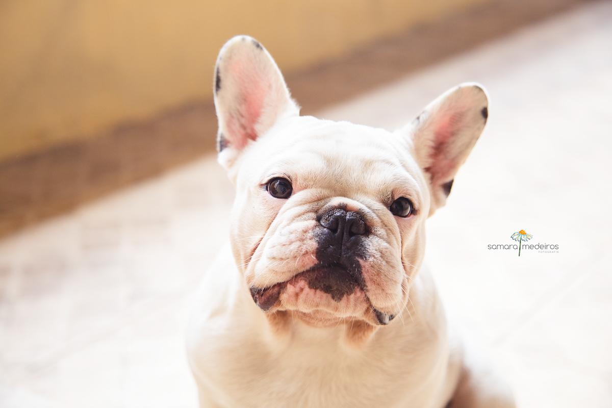 Cachorro bulldog francês sentado com as orelhas em pé, boca fechada e olhando para a câmera.