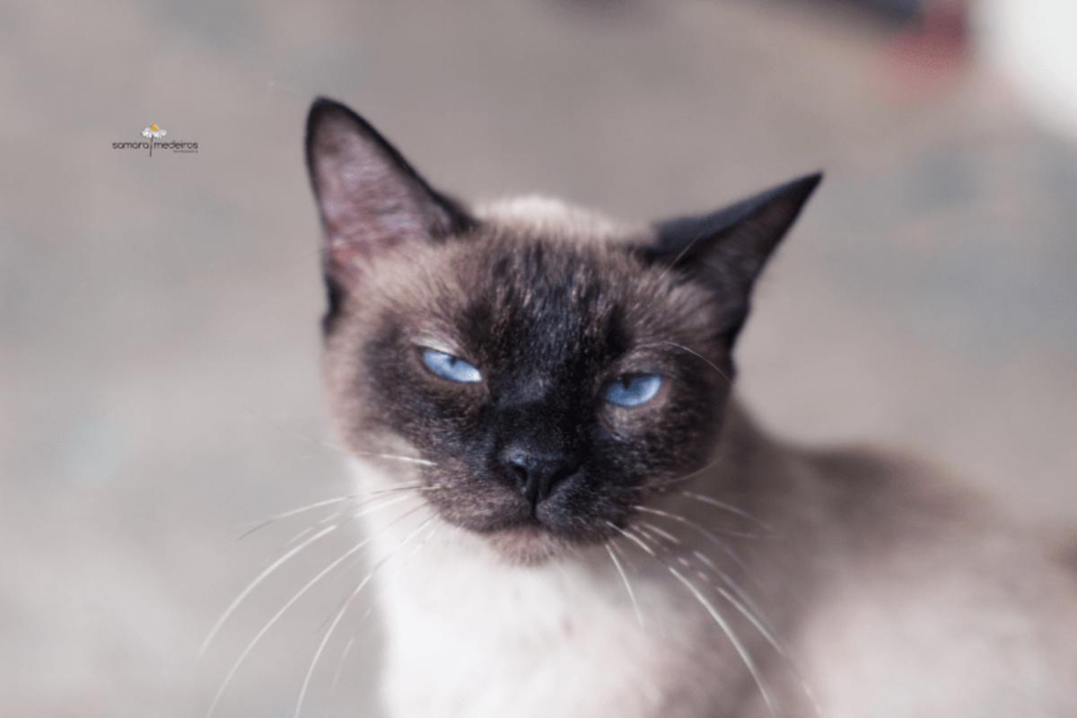 Gatinha siamesa de olhos azuis olhando com cara de sono para a câmera.