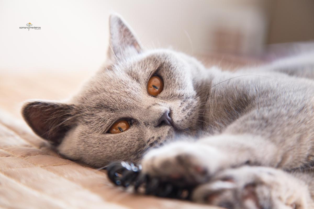 Close no rosto de uma gatinha cinza de olhos marrons, deitada na cama e brincando com uma gominha de cabelo.