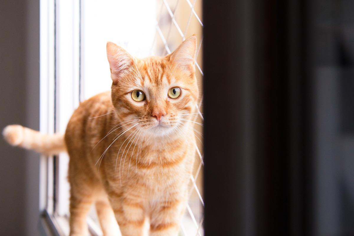 gato amarelo em cima da janela olhando para a câmera