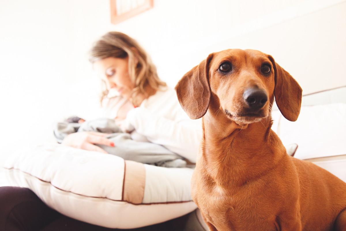 cachorra dachshund em primeiro plano em cima do sofá e a mãe amamentando seu bebê ao fundo, sem foco