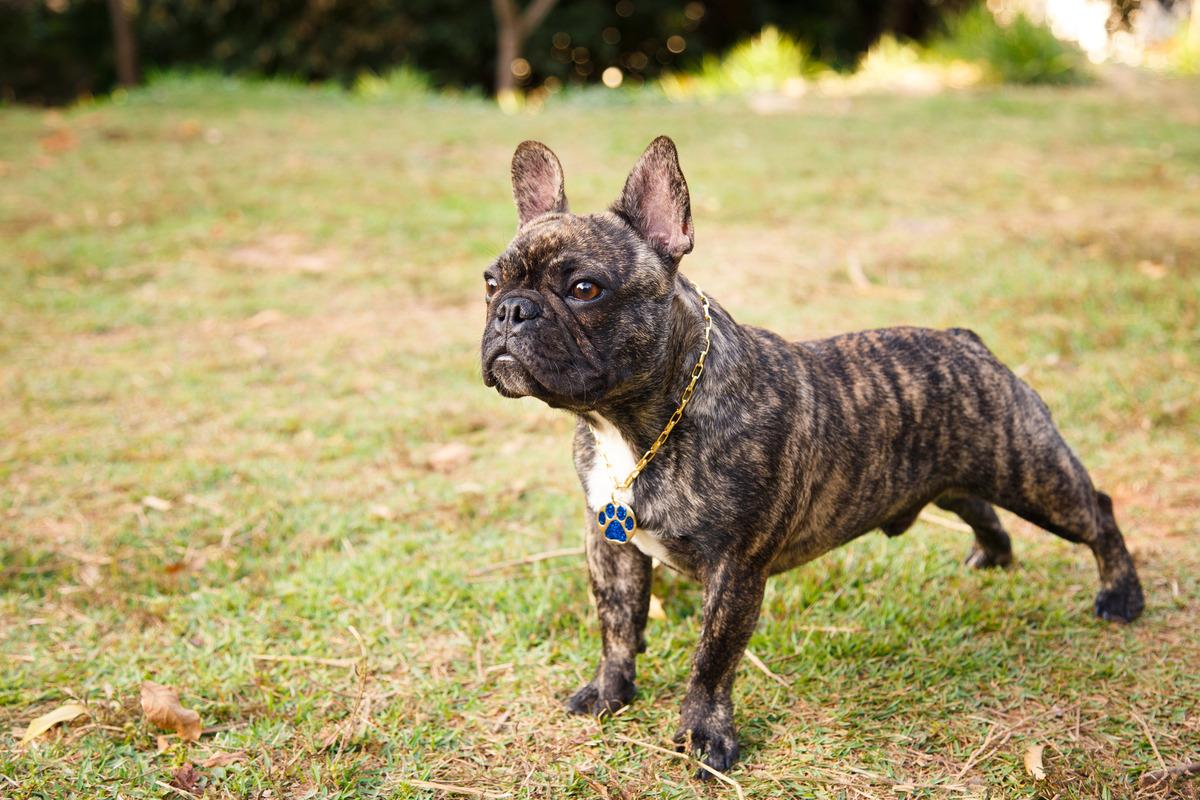 Cachorro da raça bulldog francês tigrado, de pé fazendo pose e olhando para a frente, concentrado.