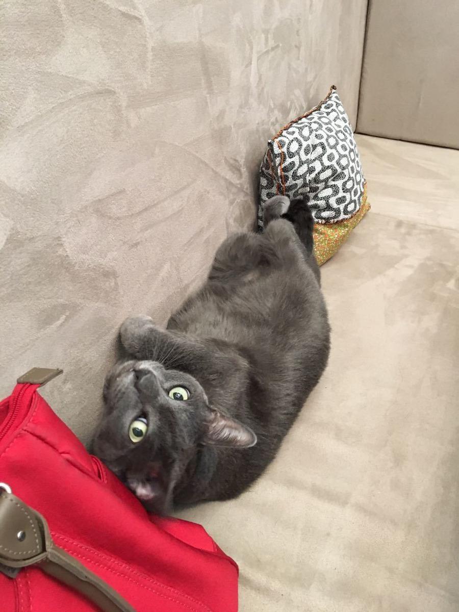 Gato cinza deitado em um sofá e olhando para a câmera