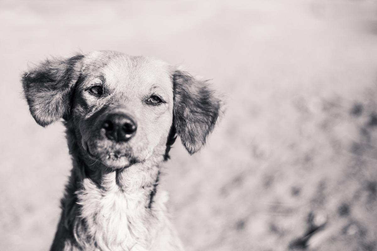 Foto em preto e branco de um cão abandonado de rua, com a boca levemente machucada, orelhinhas caídas.