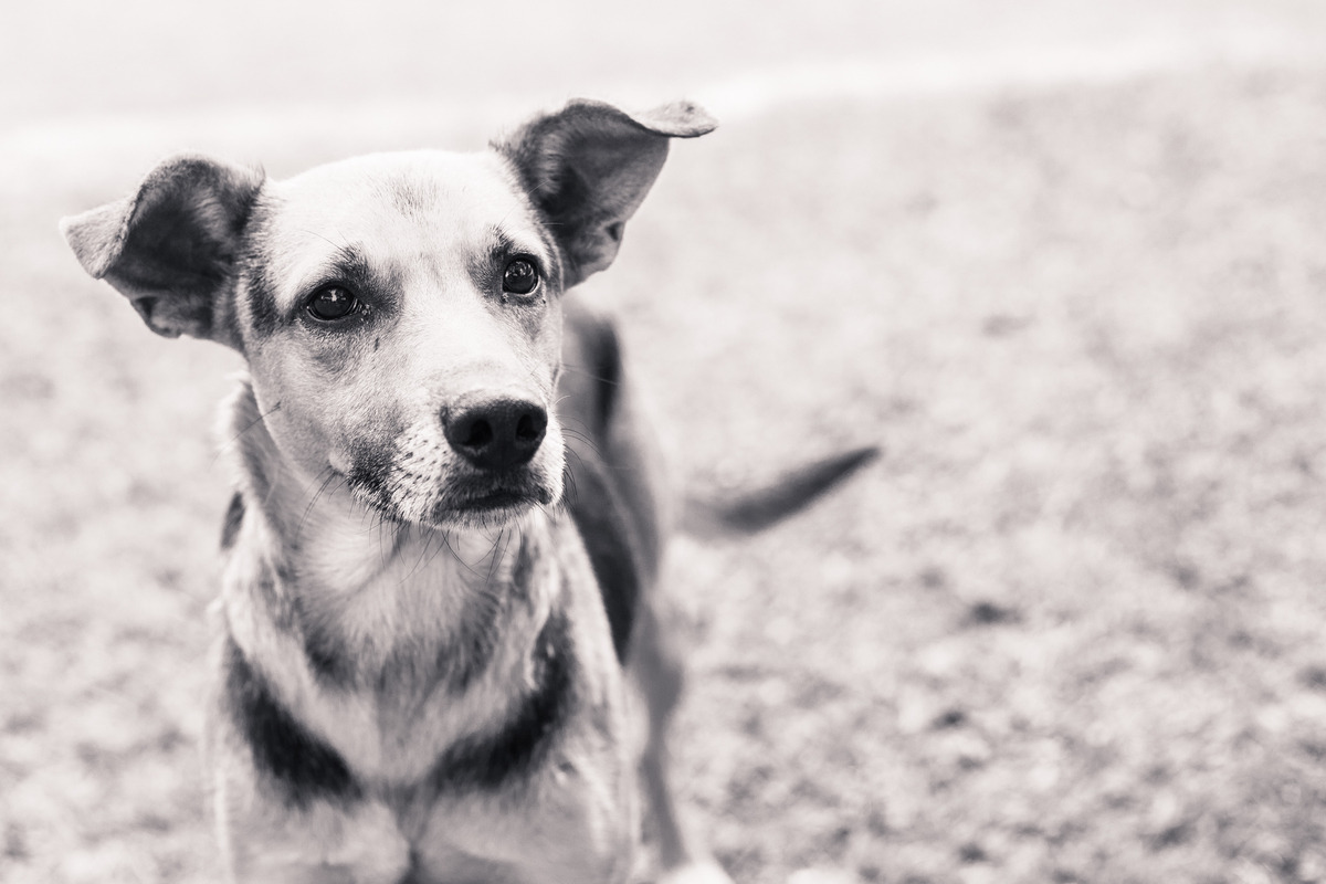 Foto em preto e branca de um cão de rua, abandonado, olhando para a câmera, orelhas em pé.