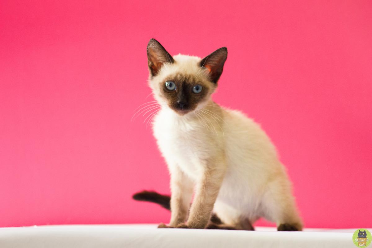 Gatinha siamesa em um apoio branco, com fundo cor de rosa, olhando para a câmera em ensaio pet.