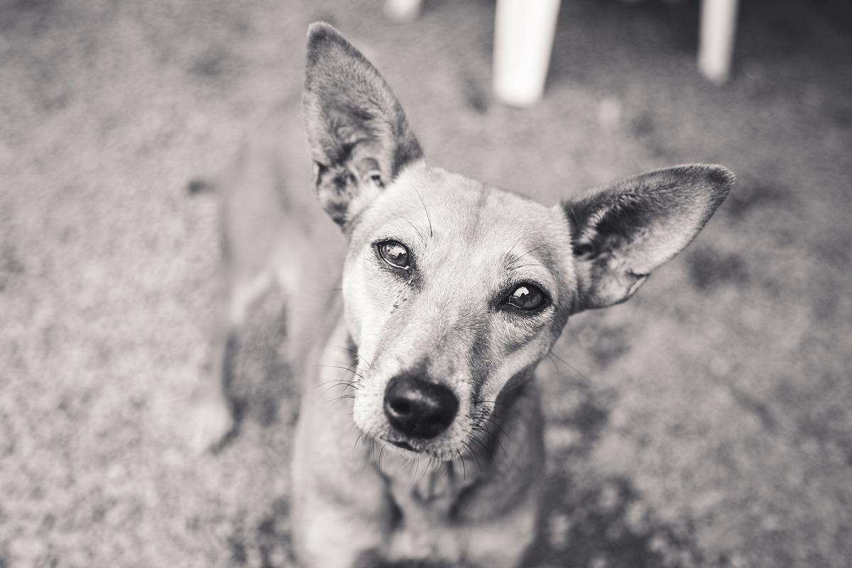 Foto em preto e branca de um cão de porte médio abandonado, com orelhas em pé e expressão de curioso, olhando para a câmera.