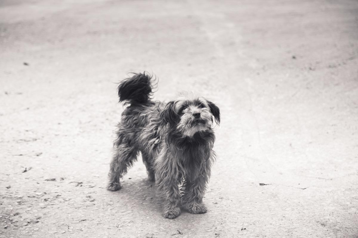 Foto em preto e branca de um cão de pequeno porte abandonado, de pé, olhando para a câmera.