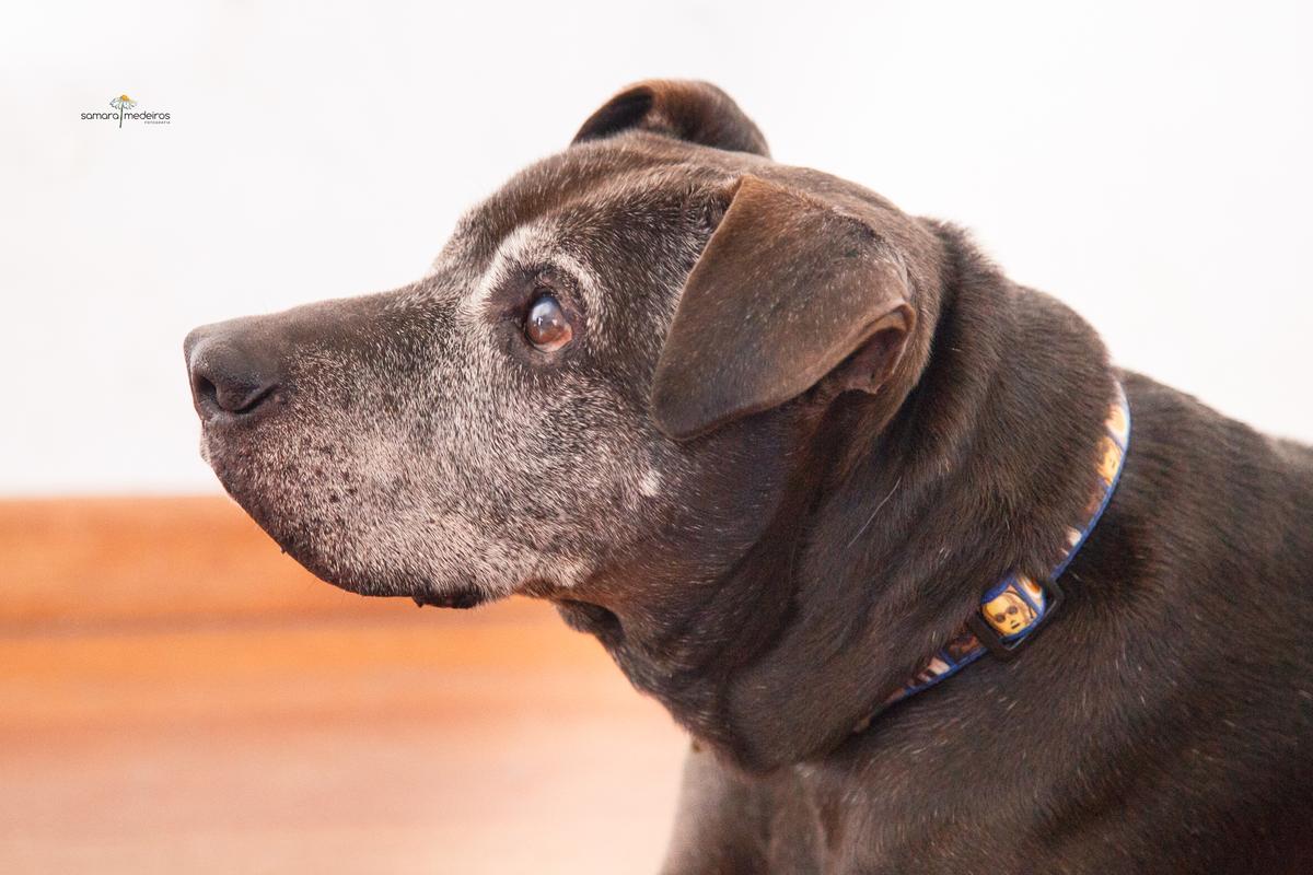 Pitbull de perfil deitado no chão de sua casa durante uma visita da pet sitter.