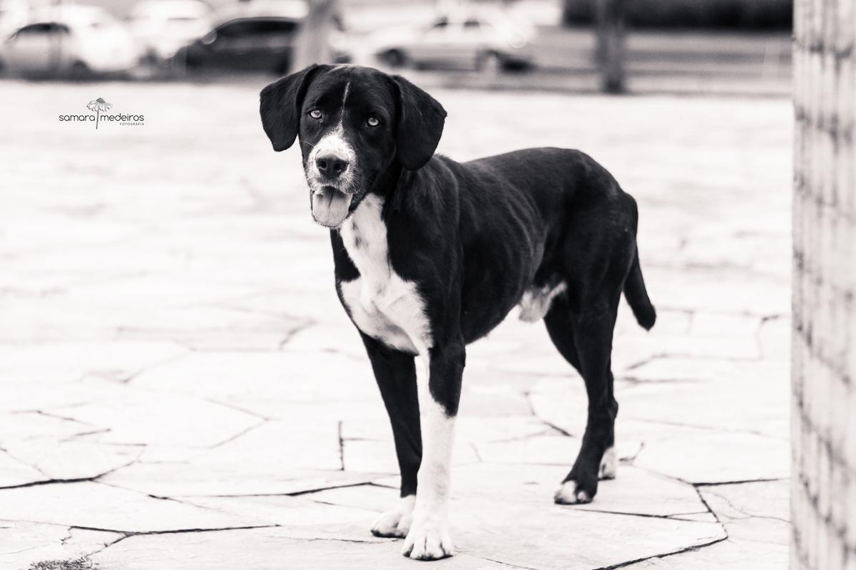 Foto em preto e branca de um cão grande, preto com manchas brancas, língua para fora e expressão triste.