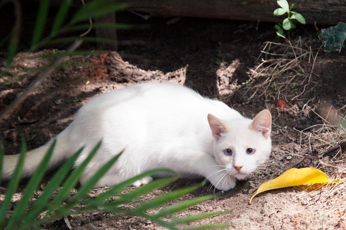 Gatinho branco no meio do mato em pose de caçador, observando um inseto.