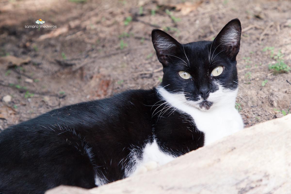 Gatinha frajola, preto e branca, deitada na terra e olhando para a câmera.