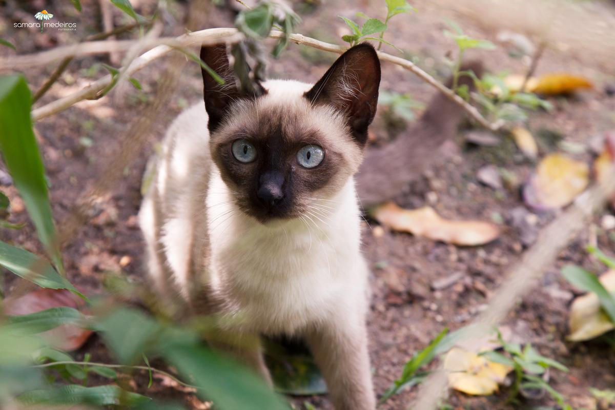 Gatinho siamês de olhos azuis em meio a um arbusto olhando com expressão e curioso.