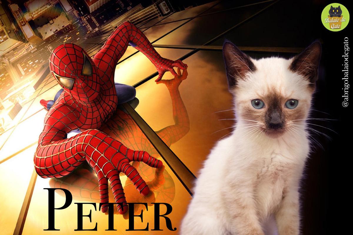 Gatinho siamês de olhos azuis, de nome Peter, sentado com uma imagem do Homem Aranha Peter Parker ao fundo.
