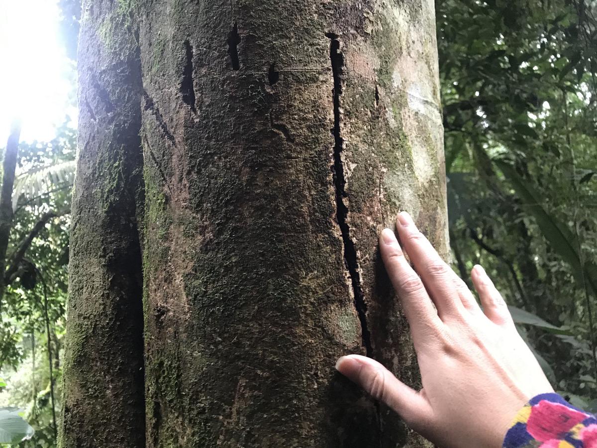 Marca da onça na árvore